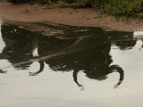 African Buffalo, Syncerus Caffer, Reflections in Water Photographic Print by Beverly Joubert