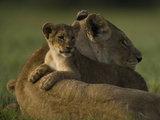 African Lioness, Panthera Leo, Resting with Cub Photographic Print by Beverly Joubert