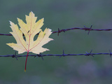 Maple Leaf Caught on a Barbed Wire Fence Photographic Print by Joe Petersburger