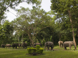 A Group of Asian Elephants, Elephas Maximus, at a Sanctuary Photographic Print by Karen Kasmauski