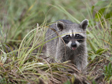 Critically Endangered Cozumel Pygmy Raccoon, Procyon Pygmaeus, Foraging Photographic Print by Roy Toft