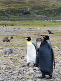 A King Penguin and a Rare Melanistic Penguin on a Beach with Seals Photographic Print by Andrew Evans