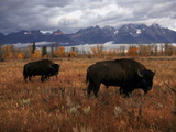 Buffalo Grazing in Grand Teton National Park Photographic Print by Aaron Huey