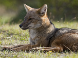 A Patagonian Fox in Torres Del Paine National Park Photographic Print by Maria Stenzel