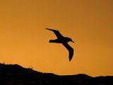 Bird in Flight at Sunset over the Atlantic Ocean Photographic Print by Roy Toft