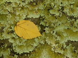 A Leaf on a Bed of Lichen in a Forest Near Berkeley Springs Photographic Print by Karen Kasmauski