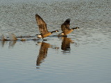 Canada Geese Take Off and Reflections in Rippled Water Fotografisk tryk af Karen Kasmauski