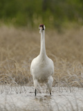 A Whooping Crane Female Wading in the Water Fotografisk tryk af Klaus Nigge