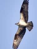 An Adult Osprey, Pandion Haliaetus, in Flight Photographic Print by Kent Kobersteen