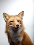 Portrait of a Red Fox Photographic Print by Vincent J. Musi