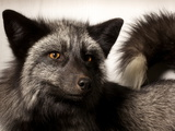 A Domesticated Silver Fox in a Genetics Laboratory Photographic Print by Vincent J. Musi