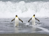 King Penguins Emerging from the Sea after Bathing and Fishing Reprodukcja zdjęcia autor John Eastcott & Yva Momatiuk