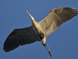 A Great Blue Heron in Flight over the Occoquan River Photographie par Kent Kobersteen