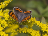 An American Copper Butterfly, Lycaena Phlaeas, on Goldenrod Photographic Print by Bates Littlehales