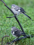 A Pair of Northern Mockingbirds Along the Occoquan River Photographic Print by Kent Kobersteen