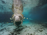 Small Fish Eating Algae Growing on a Florida Manatee Fotografisk tryk af Brian J. Skerry