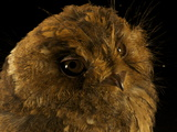 A Mountain Owlet Nightjar from New Guinea's Foja Mountains Photographic Print by Tim Laman