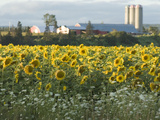 Sunflowers on Cape Breton Island Photographic Print by Karen Kasmauski