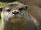 Asian Small Clawed Otter, Aonyx Cinerea, on Alert Photographic Print by Paul Sutherland