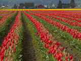A Field of Red Tulips in Spring, North of Seattle Photographic Print by Karen Kasmauski