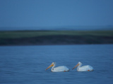 A Breeding Pair of American White Pelicans on Medicine Lake Fotografisk tryk af Klaus Nigge