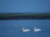 A Breeding Pair of American White Pelicans on Medicine Lake Stampa fotografica di Klaus Nigge