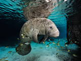 Florida Manatee in a Fresh Water Spring. Fish Eat Algae on it's Body Photographie par Brian J. Skerry