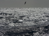 Silhouetted Cape Petrel, Daption Capense, Flying Low Above Waves Photographic Print by John Eastcott & Yva Momatiuk