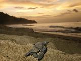 A Leatherback Turtle Hatchling Crawls Toward the Sea Fotografisk tryk af Brian J. Skerry
