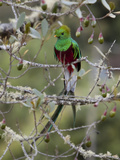 Resplendent Quetzal, Pharomachrus Mocinno, in a Tree Photographie par Roy Toft