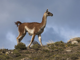 A Guanacos Grazes on the Steppes in Torres Del Paine National Park Photographic Print by Maria Stenzel