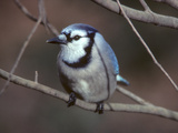 A Blue Jay, Cyanocitta Cristata, Perched on a Tree Branch Photographic Print by Bates Littlehales