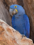 Hyacinth Macaw, Anodorhynchus Hyacinthinus Photographic Print by Roy Toft