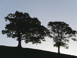 An English Oak, Quercus Robur, Silhouetted by Early Morning Sunlight Photographic Print by Nigel Hicks