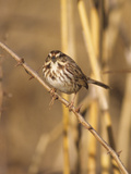 A Song Sparrow, Melospiza Melodia, Perched on a Thorny Twig Photographic Print by Bates Littlehales