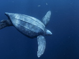 A Female Leatherback Turtle Dives Near Indonesia's Kai Islands Fotografisk tryk af Brian J. Skerry
