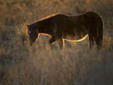 A Back Lit View of a Chincoteague Pony Standing in a Grassy Meadow Photographic Print by Karen Kasmauski