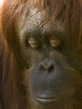 Close Up of the Face of an Orangutan, Pongo Pygmaeus Photographic Print by Paul Sutherland