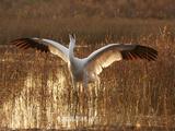 Whooping Crane Defense Posture in Breeding Territory Fotografisk tryk af Klaus Nigge