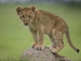 African Lion Cub, Panthera Leo, Standing on a Mound of Soil Photographic Print by Beverly Joubert