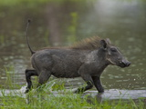 Warthog, Phacochoerus Africanus, Trotting Through Water Photographic Print by Beverly Joubert