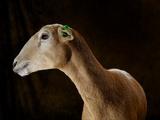A Katahdin Hair Sheep at the Indiana State Fair Photographic Print by Vincent J. Musi