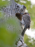 A Northern Flicker by its Nest in a Dead Tree on the Occoquan River Photographic Print by Kent Kobersteen