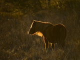 A Back Lit View of a Chincoteague Pony Foraging in a Grassy Meadow Photographic Print by Karen Kasmauski