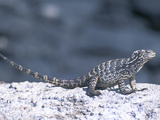 A Rare Hybrid Iguana, a Cross Between Marine and Land Iguana Photographic Print by Mauricio Handler