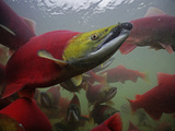 Sockeye Salmon Find their Way from the Ocean to their Natal Stream Photographic Print by Michael Melford