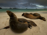 Galapagos Sea Lions, Zalophus Wollebaeki, on the Beach Photographic Print by Tim Laman