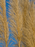 Close-Up of Sea Oats Photographic Print by Brian Gordon Green