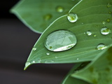 Water Droplets on a Blue Cadet Hosta Leaf Photographic Print by Brian Gordon Green