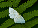 A Looper Moth Resting on a Fern Leaf Photographic Print by Brian Gordon Green